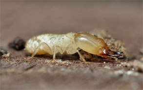 acerca-de-termitas