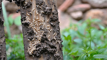 termitas-arboles-mara